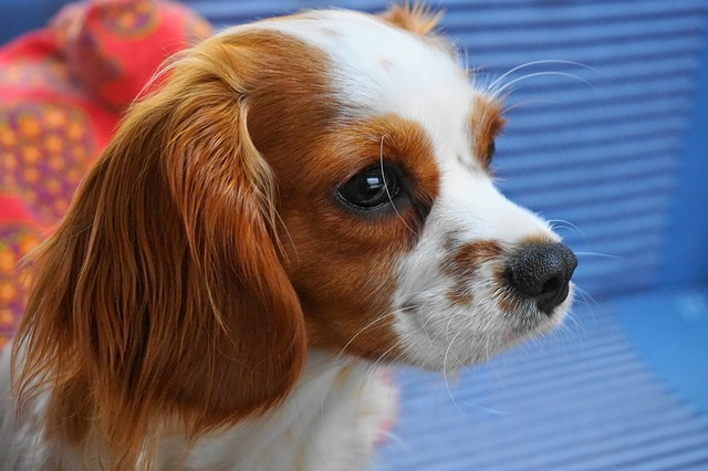Cavalier King Charles Spaniel søt hund