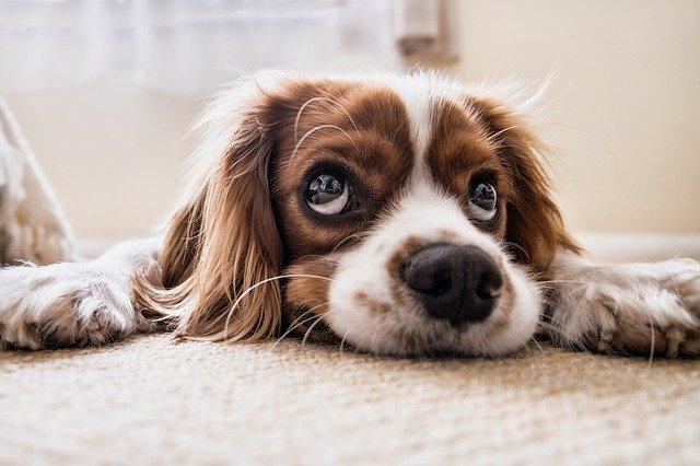 søt hund